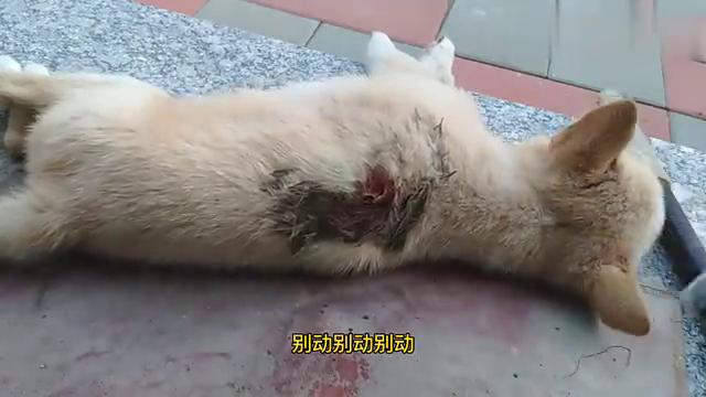 月饼被大狗咬得脊椎骨断了,问了问兽医也没法子弄,只能看命了