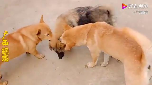 母狗给小狗咬虱子,小黄狗过来咬,母狗要生气了
