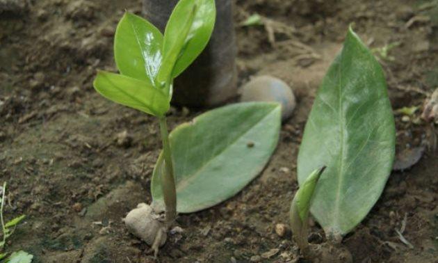 金钱树叶子有妙用,叶子枝条都能插,半个月生根,嫩芽呼呼长