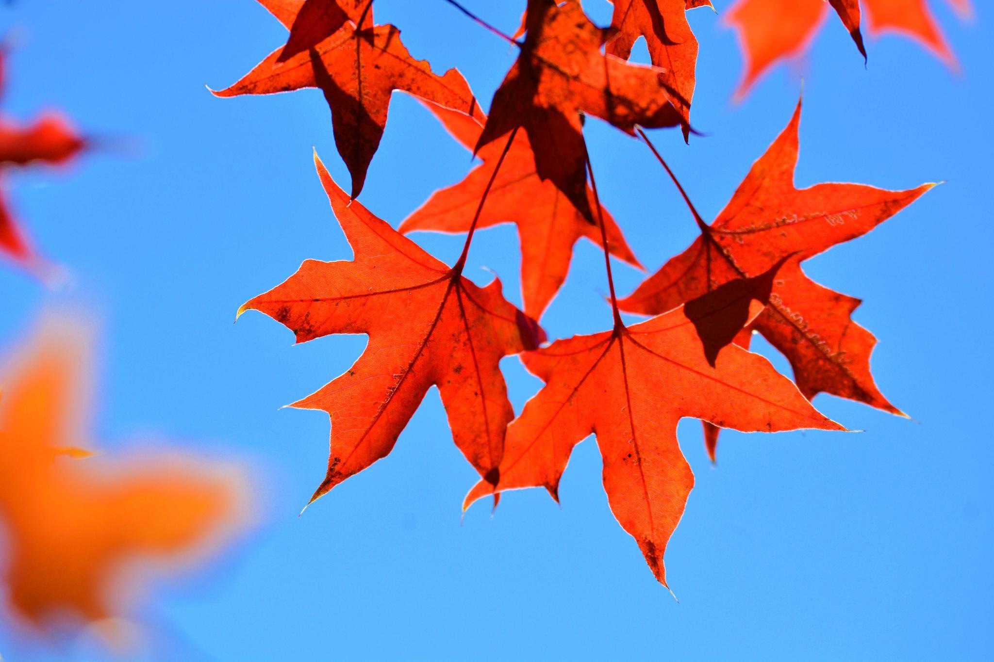 秋天的红叶,原创拍摄
