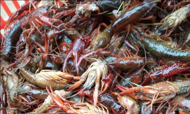 辟谣:小龙虾不赚钱?这种模式专门出大虾,泡水虾可以卖高价