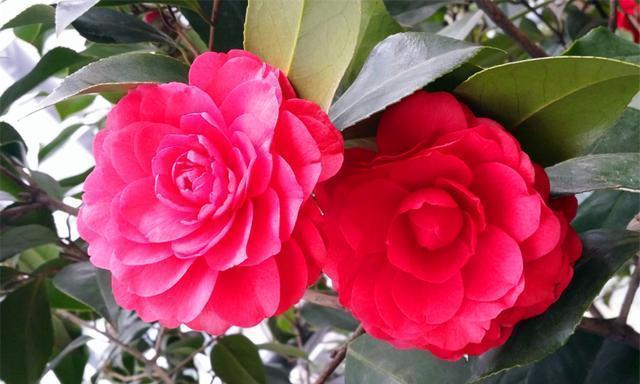 秋天养茶花,掌握4个要点,花苞长满枝头,冬天轻松开爆盆