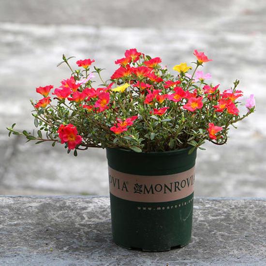 这3种花很耐晒,不管夏日的休眠期,多晒太阳多给水就爆盆开花