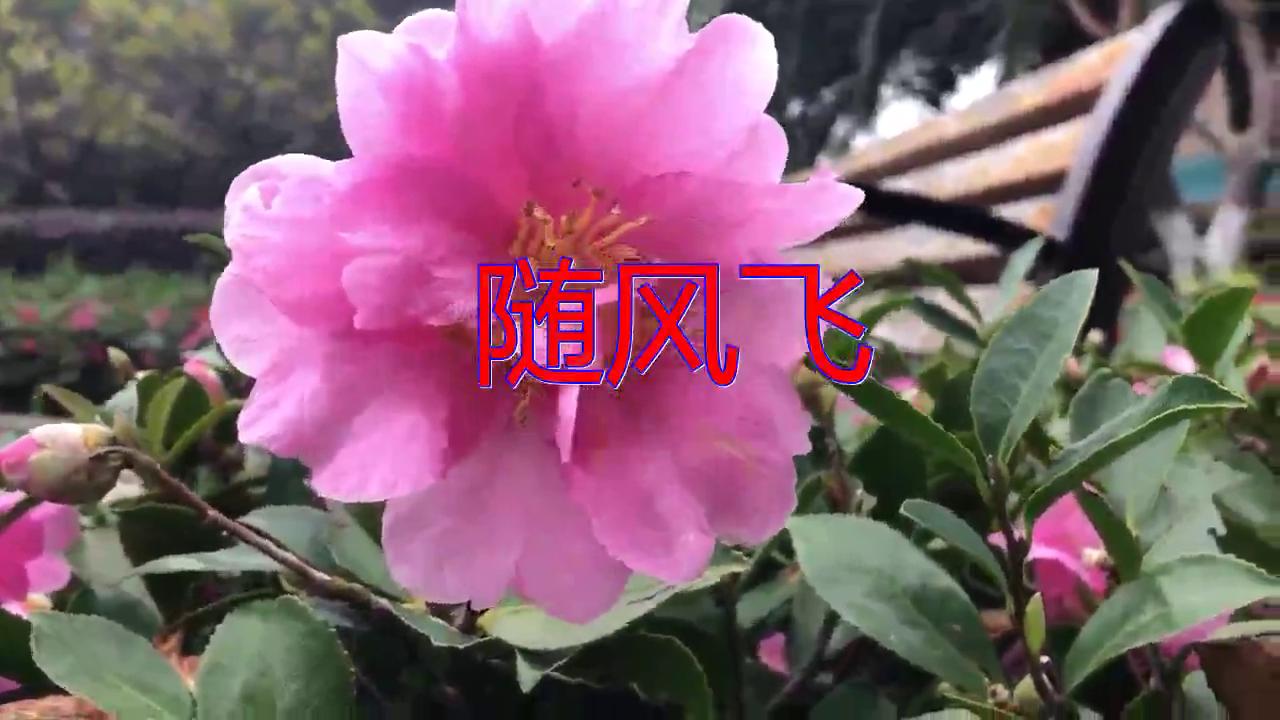 DJ何鹏、杨辉的《随风飞》,清脆歌曲,余音缭绕