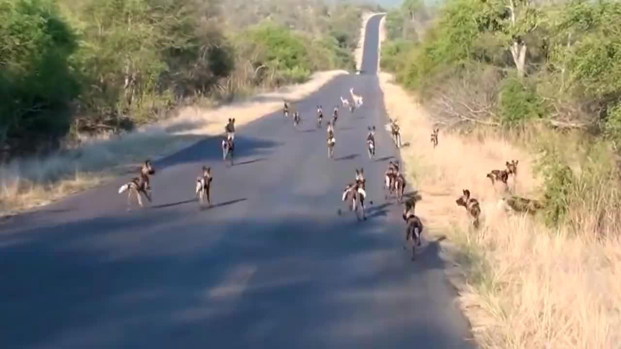 野狗群出动寻食,小鹿不幸成为它们第一顿,真是悲催!