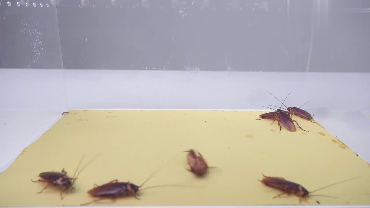 绿巨螳螂和澳宽螳螂 vs 7只美洲大蠊,谁才是捕蟑螂小能手