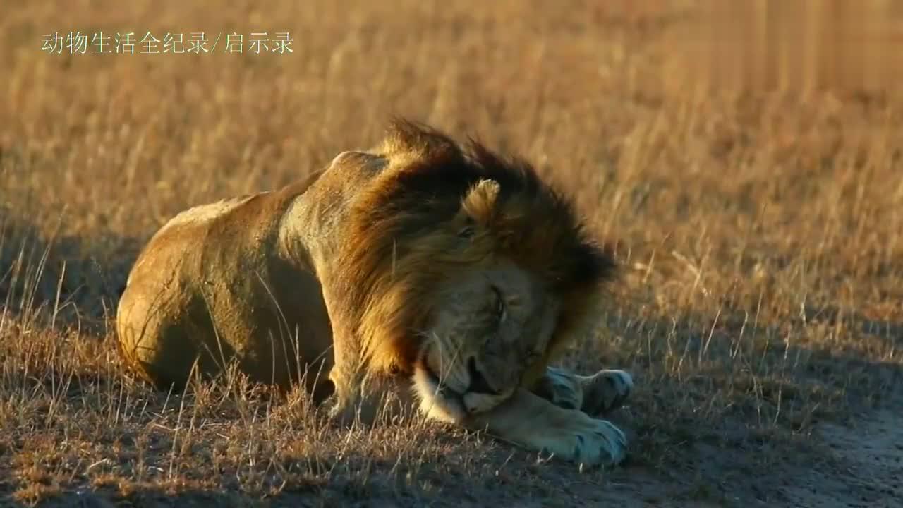 黑鬃狮王等待机会捕猎角马,没想到睡着了