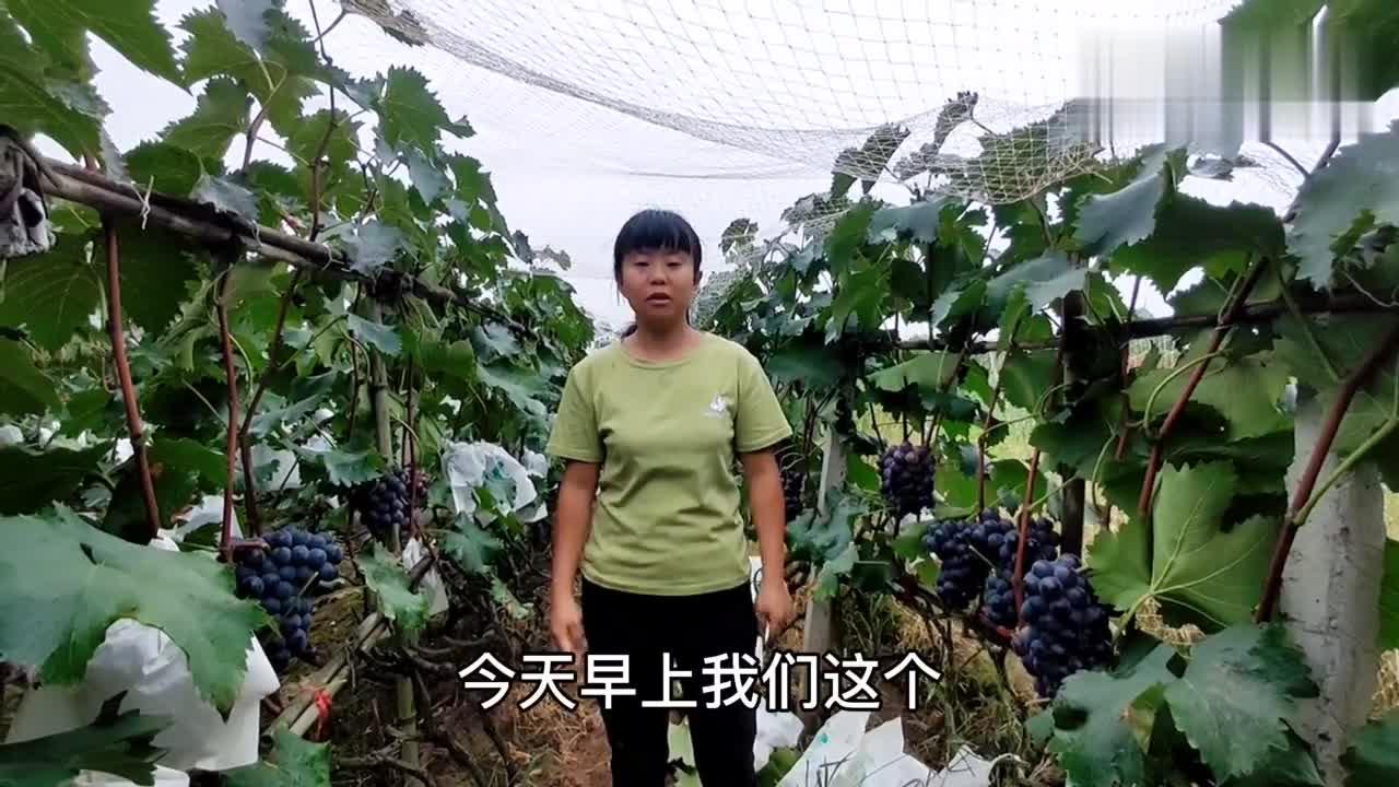 成都巨峰葡萄熟了,看着这么漂亮的葡萄,所有的辛苦都是值得的