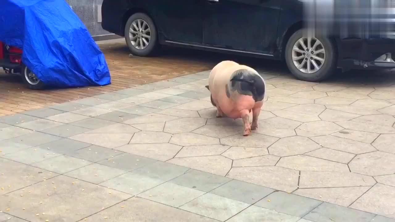 偶遇宠物猪,这谁家的猪宝宝跑出来了?