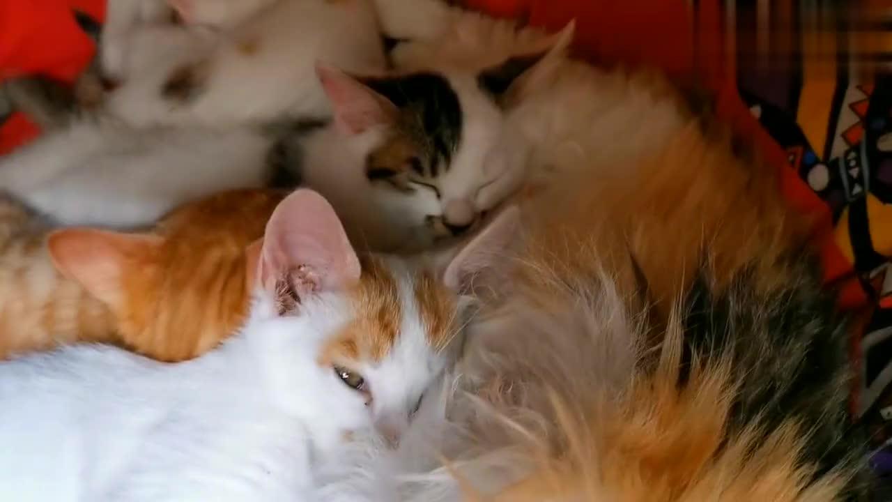 小猫满月第十九天,小家伙们吃饱后守着猫妈排排睡!