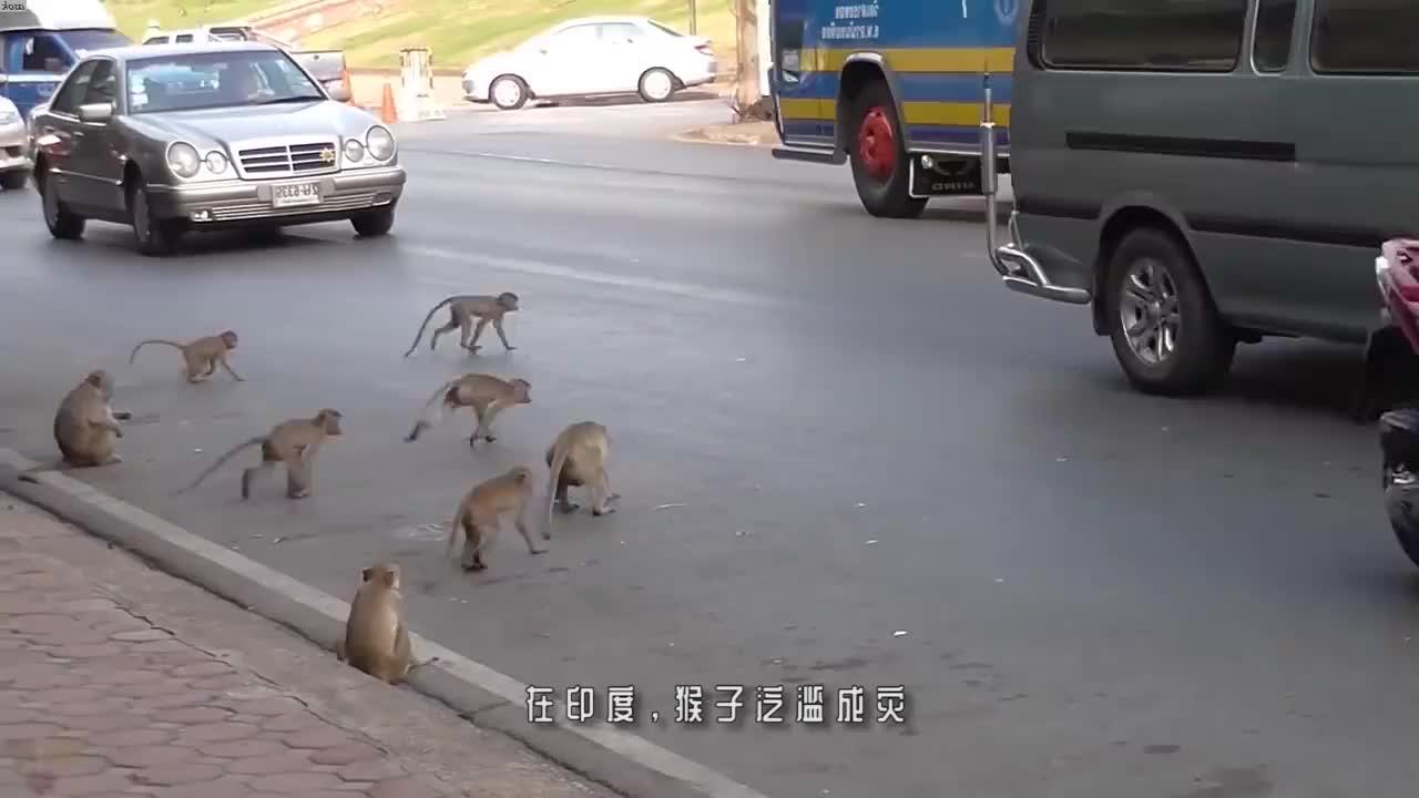 上千只猴子为抢香蕉,在街头大打出手!镜头记录精彩一幕