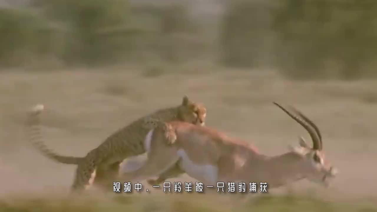 雪豹抓住岩羊,谁料岩羊宁死不屈,竟带着雪豹跳下万丈悬崖!