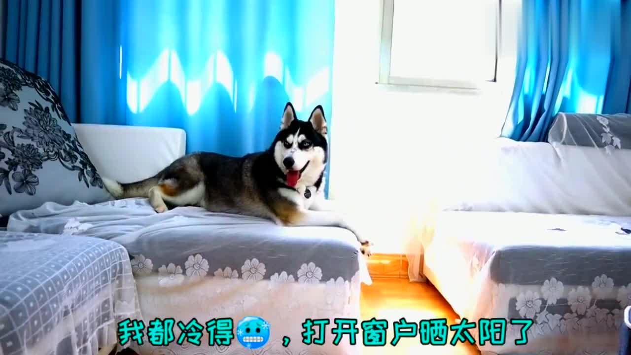 雪橇犬哈士奇在重庆过夏天是什么体验?