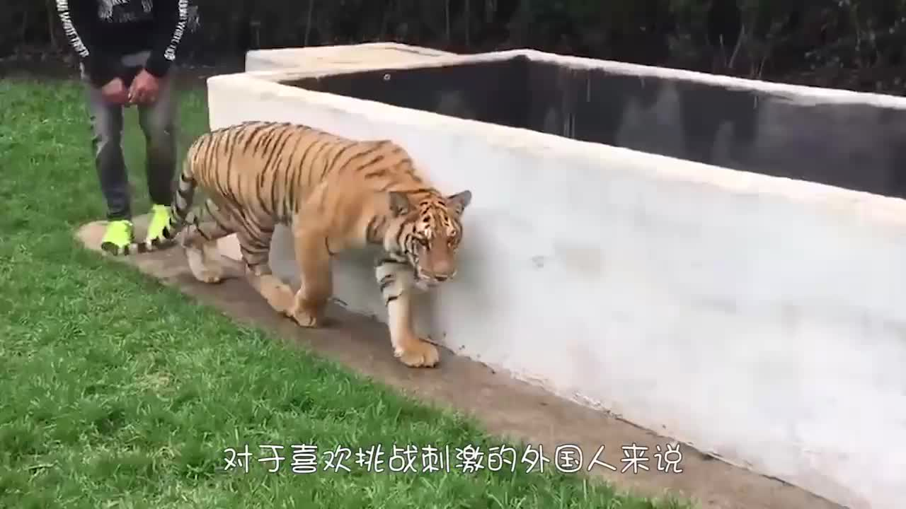家养的老虎闻到主人的血,反应令人意外,镜头记录全过程