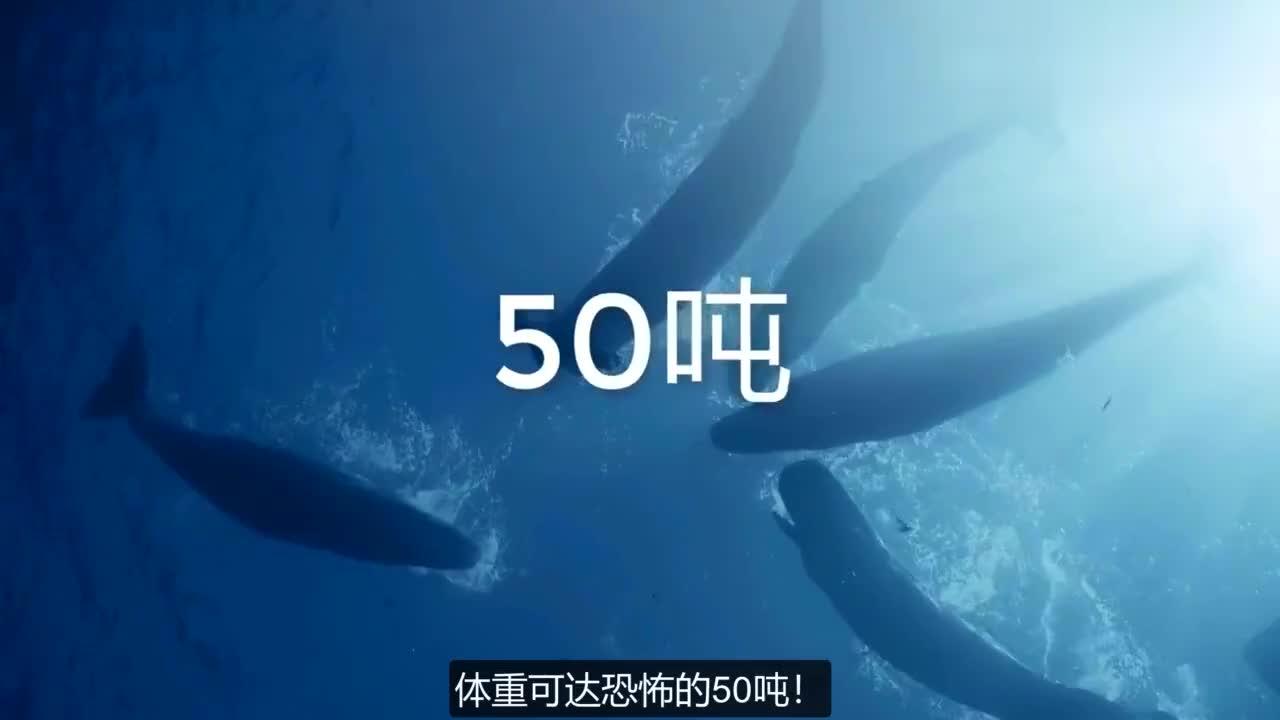 深海生物大战,抹香鲸擒大王乌贼,是怎样一翻激烈的场面?
