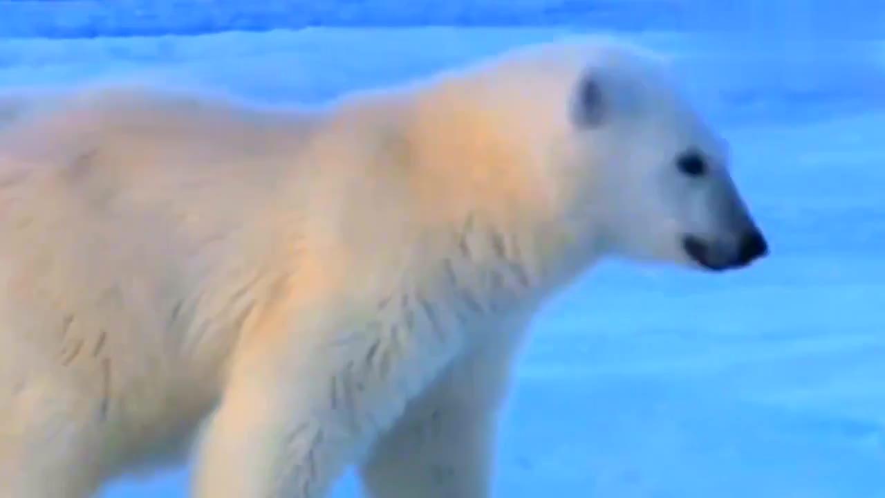 北极熊妈妈体重超标,冰面上只能扒着走!