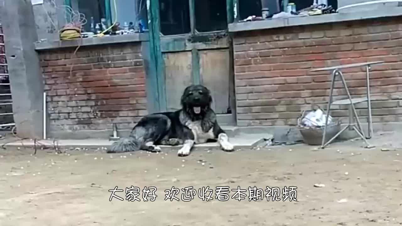 男子被高加索犬吓坏,于是回家抱来宠物给自己报仇,狗狗直往后退