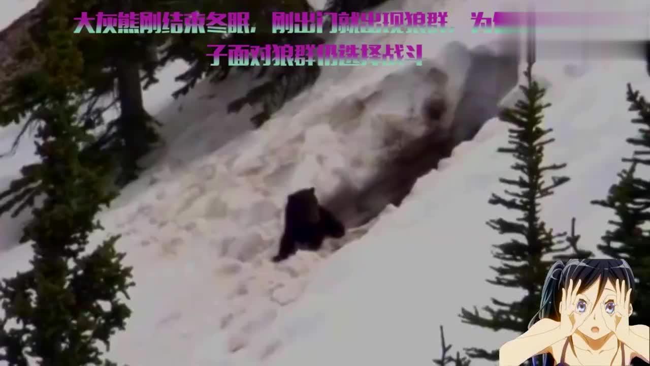 大灰熊刚结束冬眠,刚出门就出现狼群,为保护孩子仍选择战斗