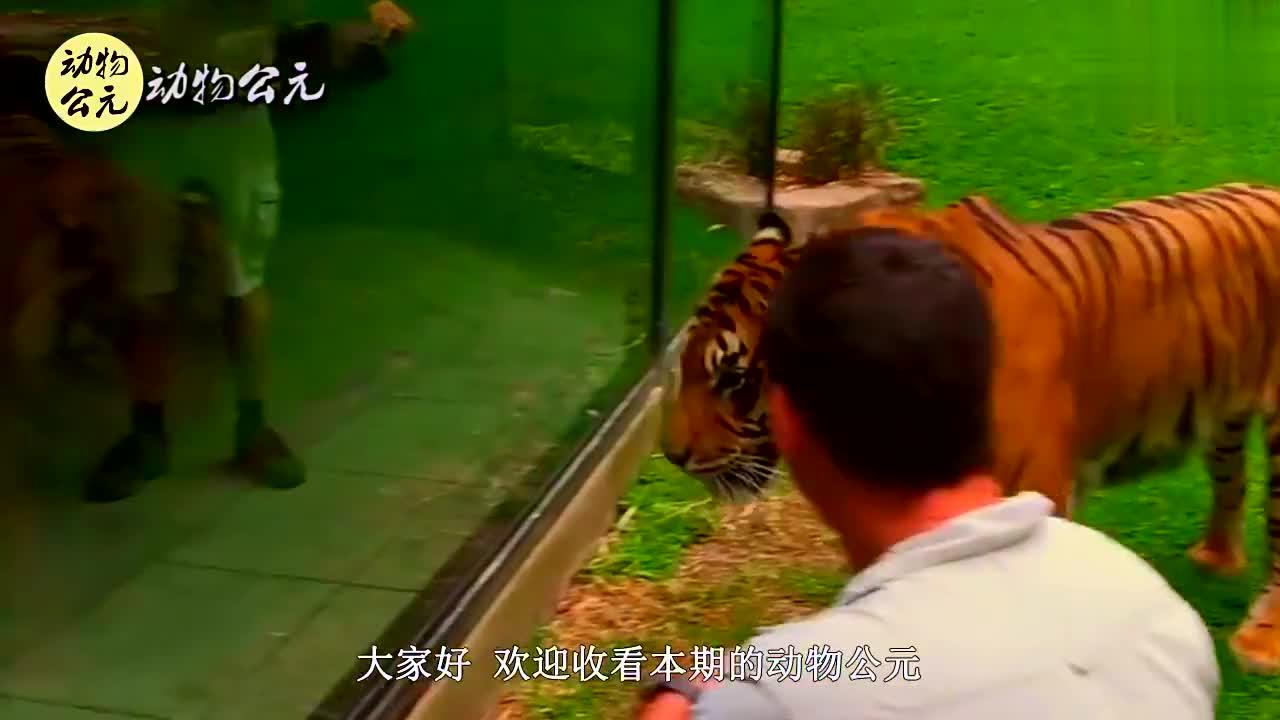 考察人员对野外老虎进行观察,虎妈妈的举动,令人倍感温柔