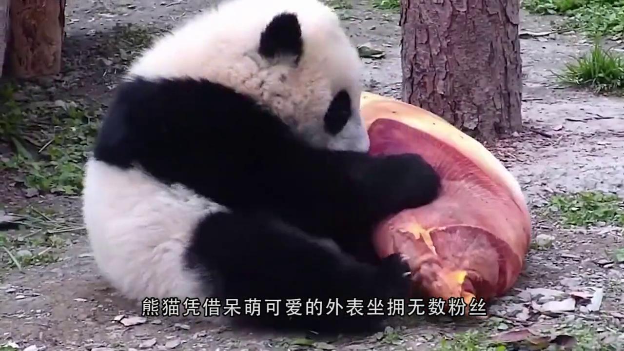 熊猫抱着冰块不放手,熊猫:我就靠冰块活了,冰块去哪我去哪