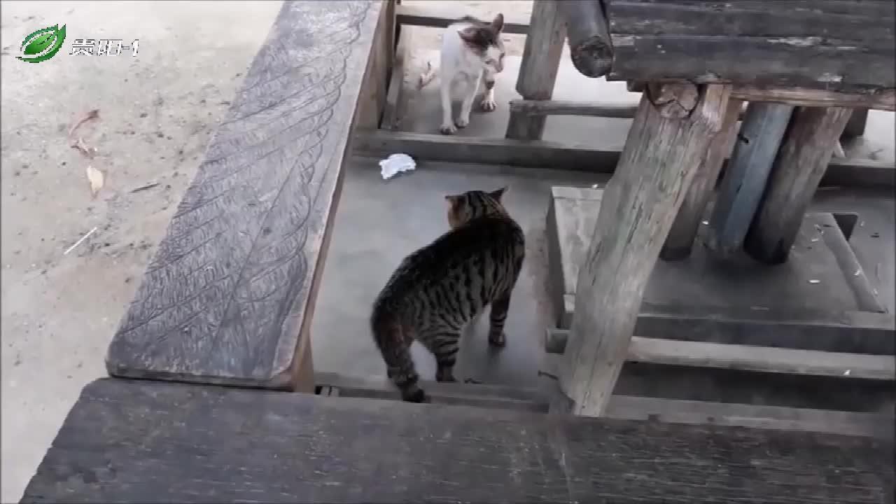 猫咪遇见死对头,对吼了半天,就是不打架!