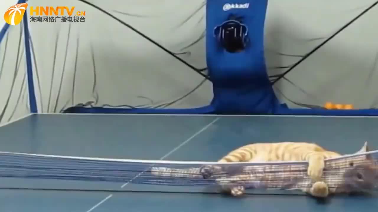 猫咪和主人打乒乓,橘猫:尽管发球,就没有本大王接不住的!