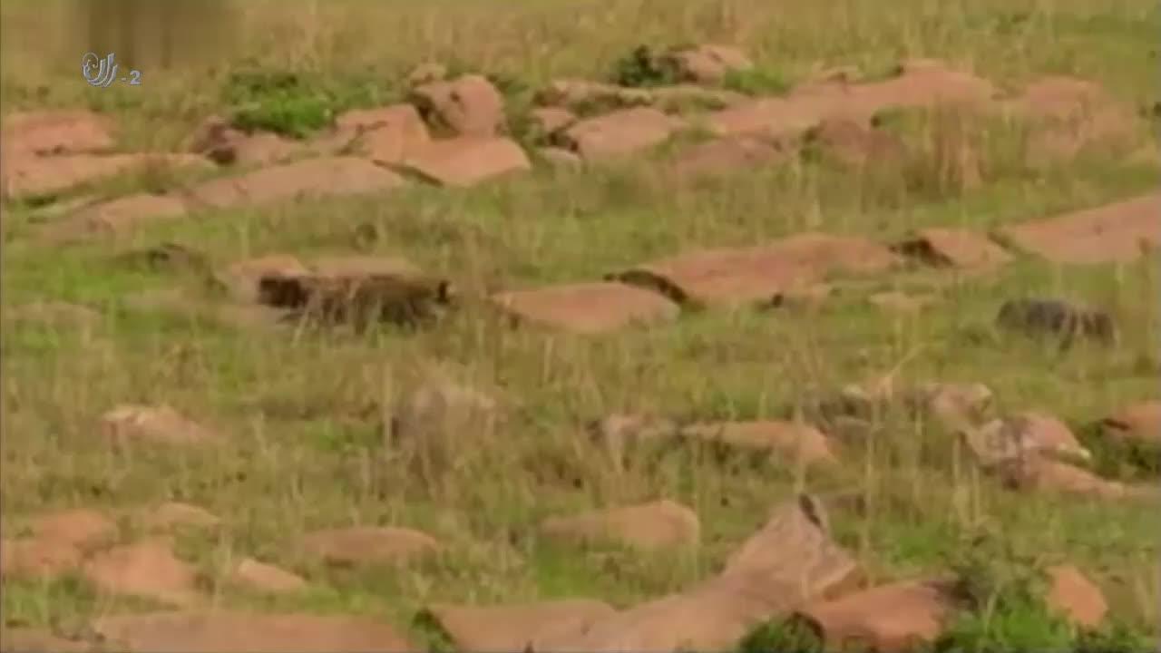 黑背狐狼捕食花豹幼崽,双方僵持不下,结果鬣狗的出现拯救了幼崽