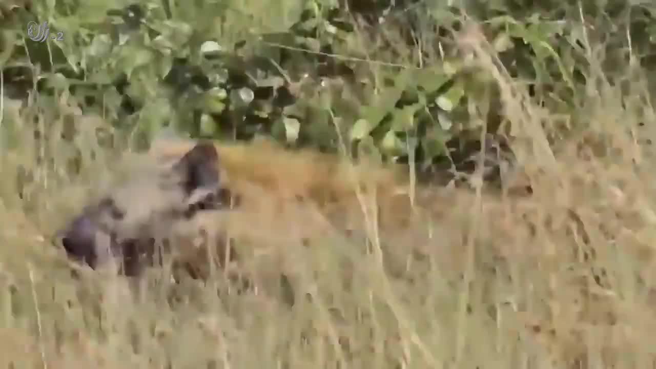 鬣狗把狮子逼得爬树,这情况在大自然还真是少见呢!