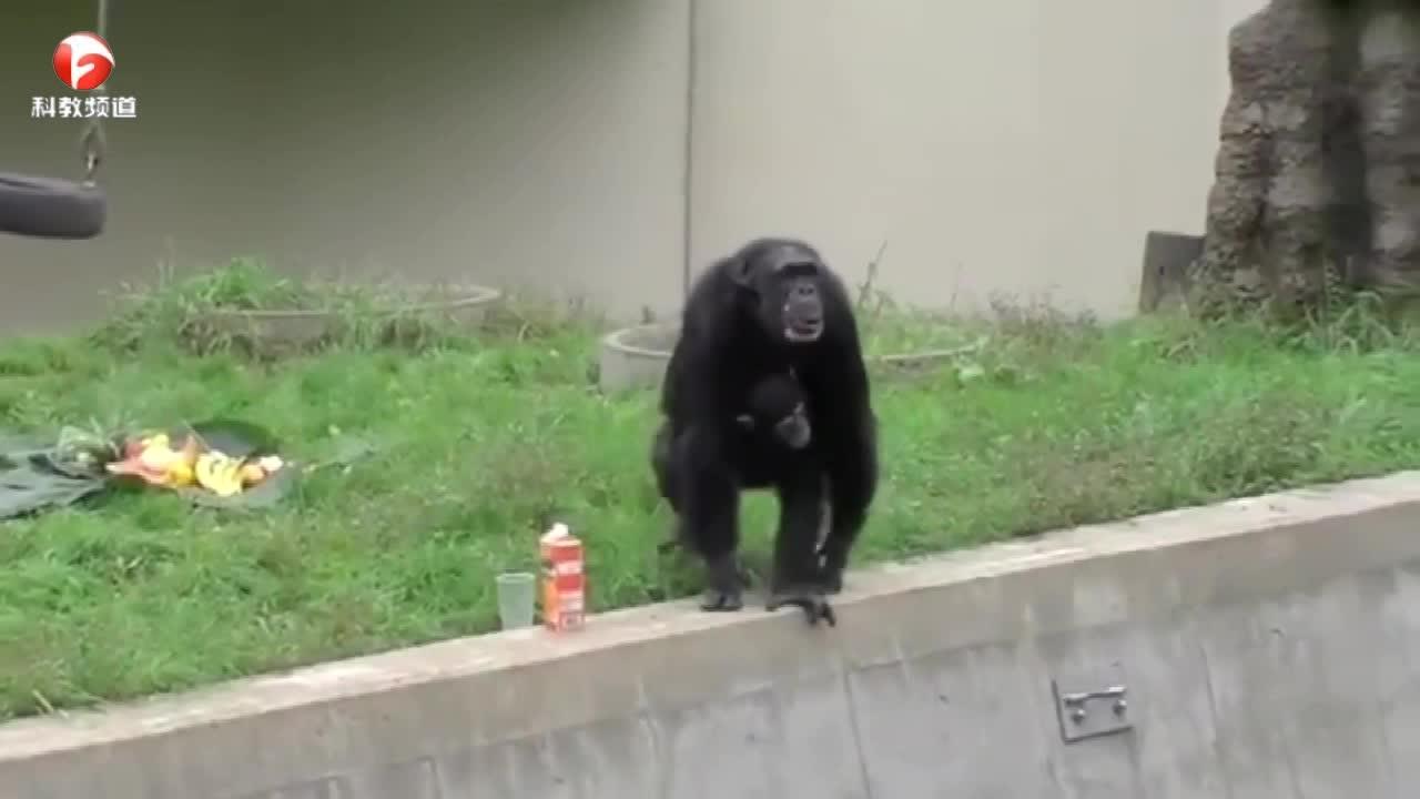 黑猩猩请客,动物园里真是热闹!