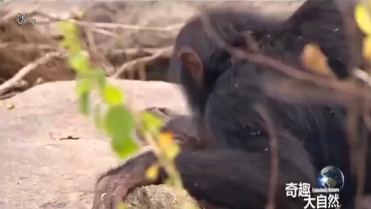 黑猩猩主要以野果为食,所以幼崽从小就必须掌握搜寻野狗的技巧