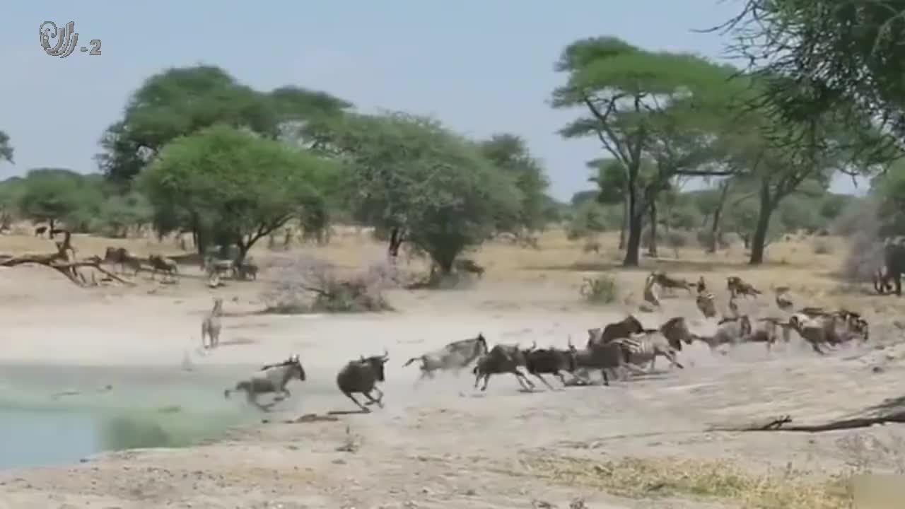 狮子将角马扑倒,惊天大逆转,它竟然被甩飞了!