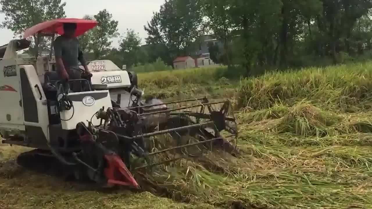 看这台收割机收水稻,最牛的却不是收割机而是倒伏的水稻,谁见过