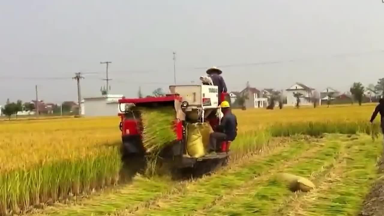 水稻田里高速收割机,干净利落,据说不落一粒水稻