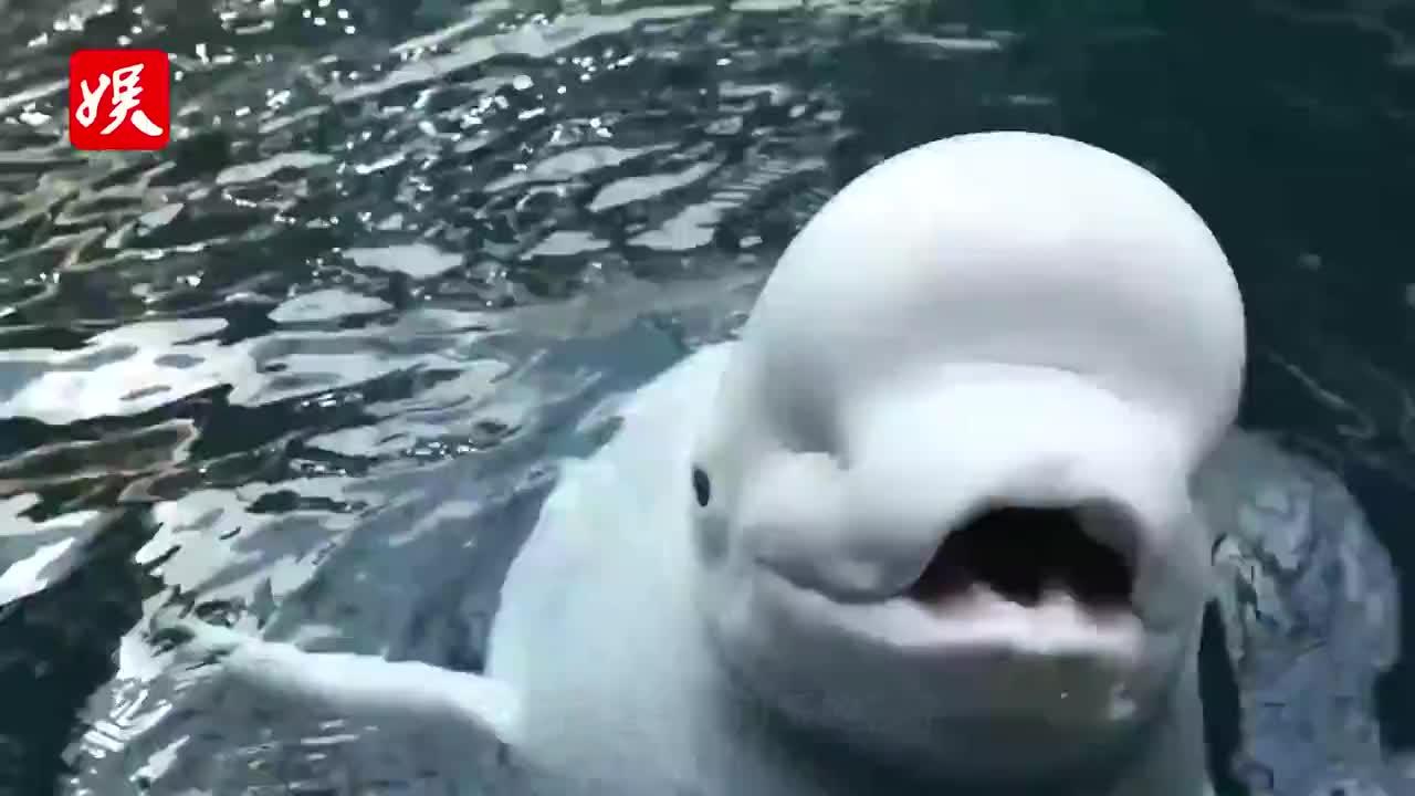 白鲸吓人从不失手,没想到败在熊孩子这个动作下!镜头拍下全过