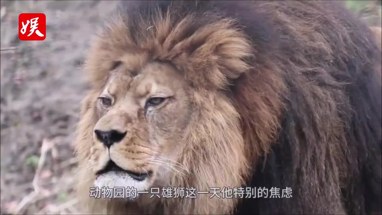 暴躁雄狮第一次见到儿子,瞬间变得铁汉柔情!镜头拍下全过程