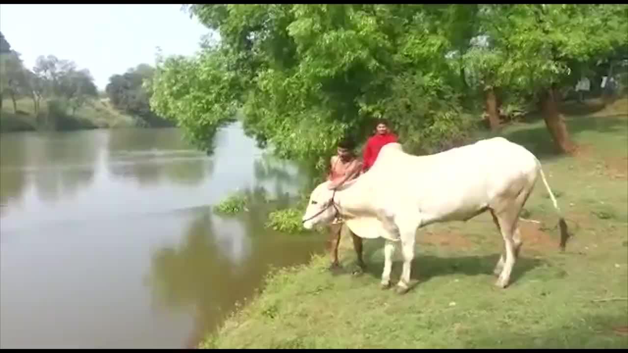 男子带着牛出门散步,不料它却耍起了牛脾气,扭头就跳入河中!
