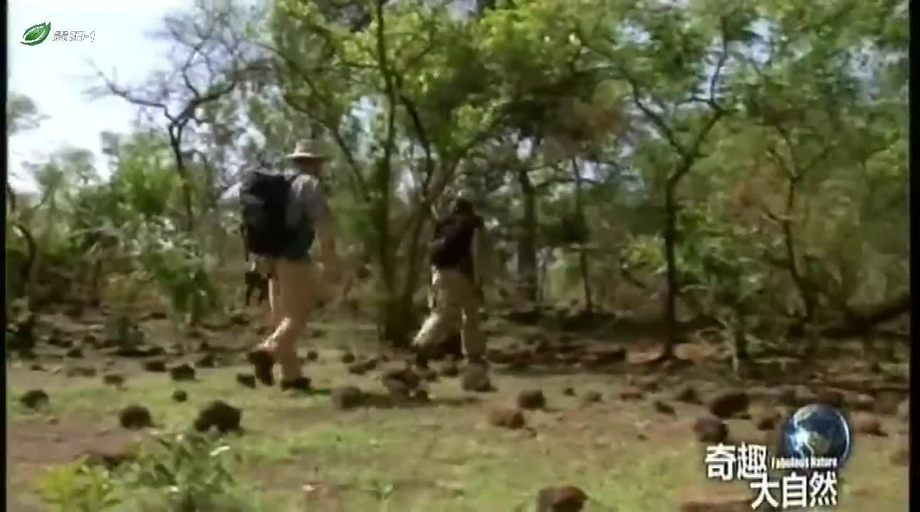 黑猩猩用树枝制作长矛?这么聪明,人类要小心了