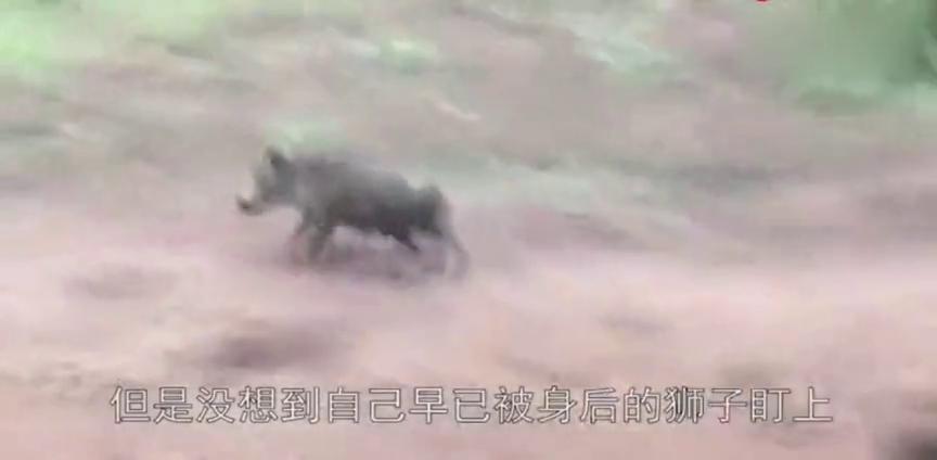 10只野狗将一头疣猪掏肛,痛到无法呼吸,镜头拍下全过程