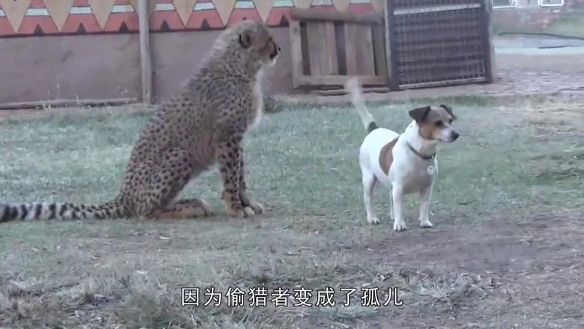 小豹子和狗狗混到了一起,还被狗狗欺负,丢尽大型食肉动物的脸