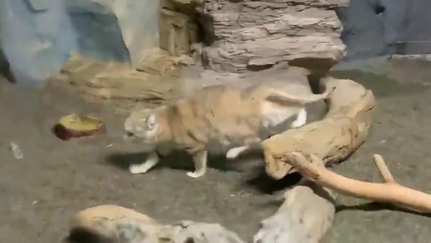 日本栃木县那须动物王国发现沙漠天使沙丘猫,萌凶萌凶的