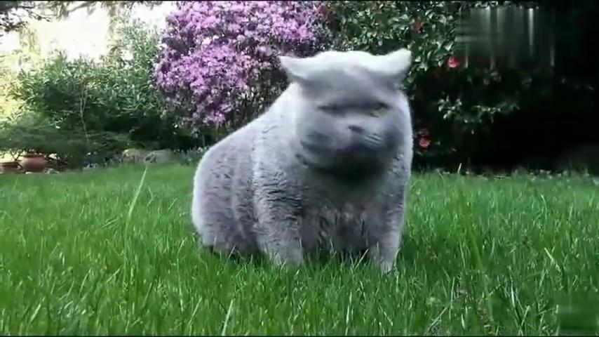 蓝猫胖成球,走路时肚皮都快贴到地面,该减减肥了