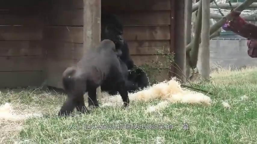 大猩猩想偷偷抱走小猩猩,不料被对方爸爸发现,接下来别笑