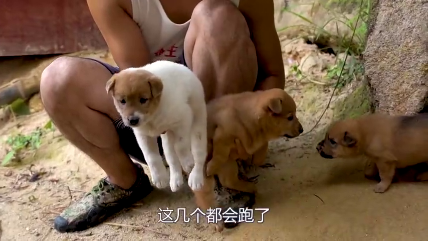 7只小奶狗都集体出动,看它们玩嗨了,主人给它们做了个游乐场
