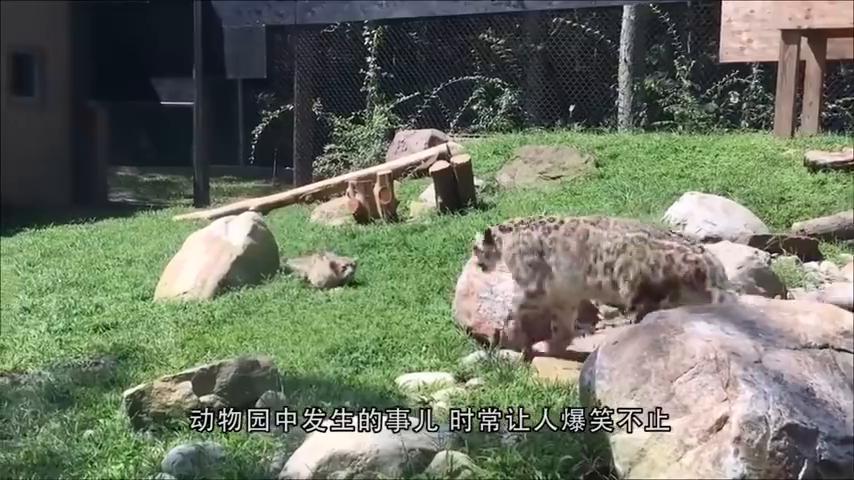 """狮子看到小宝宝""""兽性大发"""",下一秒宝宝回头后,狮子反应亮了"""
