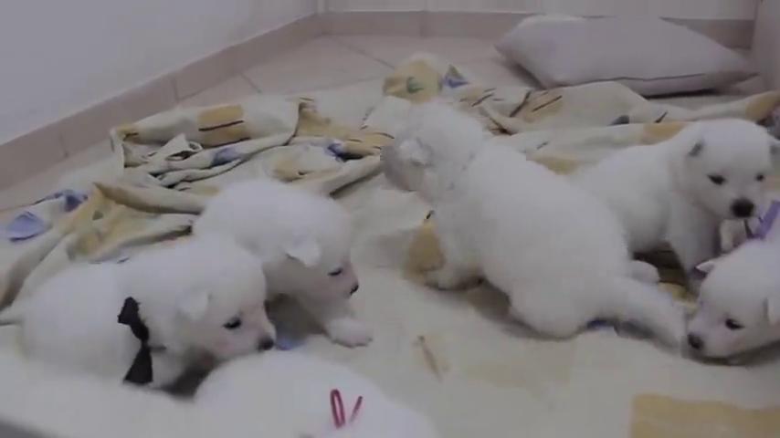 刚出生两周的小萨摩犬,还不可以去外面玩耍