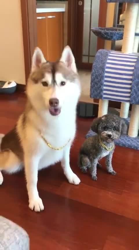 铲屎官带狗狗出去,给狗狗戴上了金链子,为了争面子