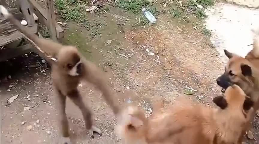 小猴子挑衅猫咪,被猫咪暴打一顿!