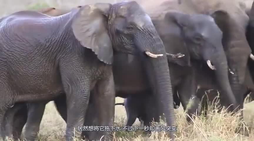 大象被鳄鱼咬住鼻子,凶猛鳄鱼将大象拖下水,下一秒画风突变