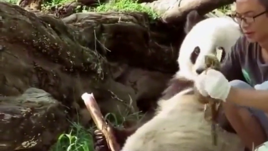 饲养员发现少了一只熊猫,抬头看了眼后腿直打哆嗦:我的老天爷!