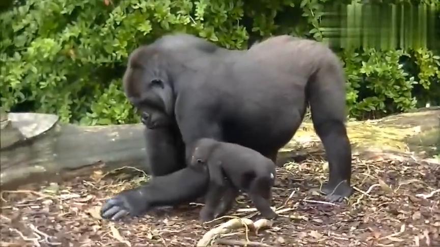 不讲卫生的大猩猩当着小猩猩的面挖鼻孔,挖完还自己吃掉